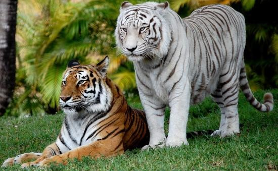 Ecole les jeunes pousses le doc des tigres blancs - Photo de tigre blanc a imprimer ...